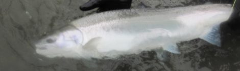 photo of a steelhead